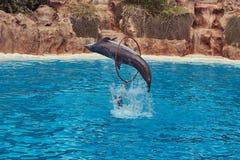 Дельфин выполняя во время выставки дельфина с их тренерами в национальном зоопарке Стоковые Фотографии RF