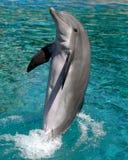 Дельфин выполняя на выставке Стоковое Фото