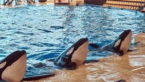 Дельфин-касатка выполняя во время выставки дельфина в национальном зоопарке Стоковое Изображение RF