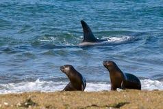 Дельфин-касатка, косатка, охотясь морской лев стоковое фото rf