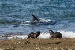 Дельфин-касатка, косатка, Стоковое Изображение