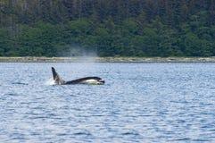 Дельфин-касатка, ребро, море, океан стоковые фотографии rf