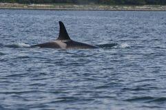 Дельфин-касатка, ребро, море, океан стоковое фото