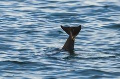 Дельфин-касатка скача вне от воды (косатки Orcinus) Стоковая Фотография RF