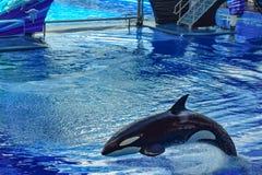 Дельфин-касатка скача на открытое море в одном шоу океана на Seaworld 5 стоковые фотографии rf