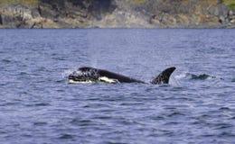 дельфин-касатка смотрит на поверхности стоковое изображение