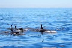 Дельфин-касатки плавая, Виктория косатки, Канада Стоковое Изображение RF