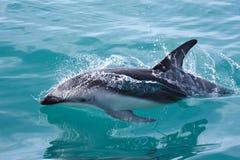 дельфин Новая Зеландия Стоковая Фотография RF