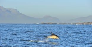 Дельфин, плавая в океане и охотясь для рыб Заплыв дельфина и скакать от воды Длинн-клеванное scie общего дельфина Стоковое фото RF