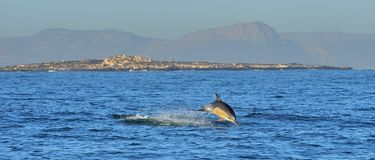 Дельфин, плавая в океане Стоковое Изображение RF