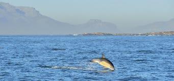 Дельфин, плавая в океане Стоковая Фотография
