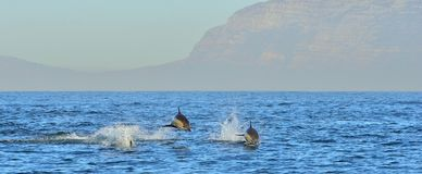 Дельфин, плавая в океане Стоковое Фото
