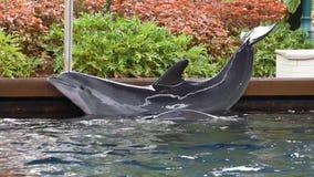 Дельфин сгабривая его тело на Seaworld 5 акции видеоматериалы