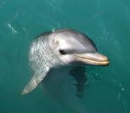 дельфин Стоковое Изображение