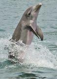 дельфин bottlenose Стоковые Изображения