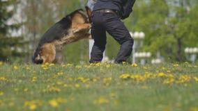 Демонстрация выставки собак с умно натренированными собаками чабана, собаками атакует руку собачьего специалиста, замедленного дв видеоматериал