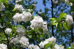 День белых цветков ветвей яблони солнечный Стоковое фото RF