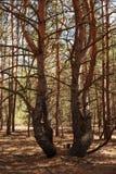 День в лесе с деревьями тумана и ольшаника стоковое изображение rf