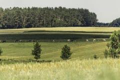 день горячий Variegated коровы пася в луге с зеленой травой Стоковое Изображение RF