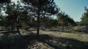 День молодого леса сосны свободного солнечный освещает замедленное движение, деревья, небо видеоматериал