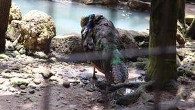 День на павлине серии зоопарка показывая пер видеоматериал