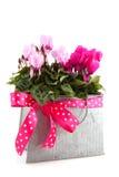 день рождения cyclamen пинк Стоковая Фотография RF