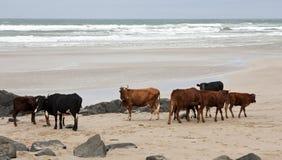 день скотин пляжа пасмурный Стоковые Изображения RF