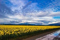 День Daffodil Стоковая Фотография