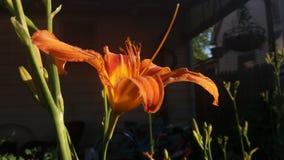 день lilly Стоковая Фотография RF
