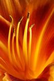 день lilly Стоковые Фотографии RF