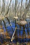 День Spreeng на трясине в лесе Стоковые Изображения