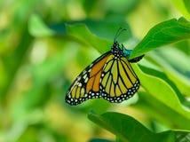 Депозировать и яичко бабочки монарха на лист milkweed Стоковые Изображения RF