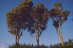 3 дерева гвоздичного дерева Стоковая Фотография RF