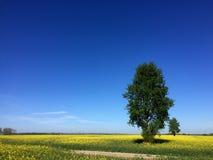 2 дерева на ландшафте поля весны рапса Стоковое Фото