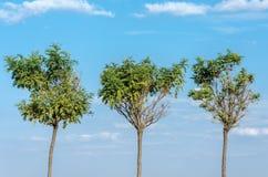 3 дерева против неба Стоковые Фотографии RF