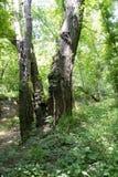 3 дерева совместно растут как одно Стоковая Фотография RF