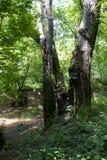 3 дерева совместно растут как одно Стоковая Фотография