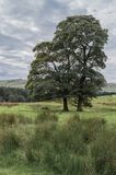 2 дерева явора растя в болотистых полях стоковое изображение