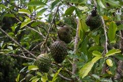 Дерева graviola звонка справедливо типично бразильское Стоковые Фото