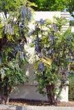 2 дерева Mahonia Leatherleaf вечнозеленых растя против загородки Стоковые Фотографии RF