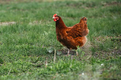 Деревенская расцветка коричневого цвета цыпленка на предпосылке травы Стоковая Фотография