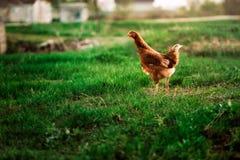Деревенская расцветка коричневого цвета цыпленка на предпосылке травы Стоковое Изображение