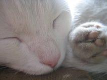 Деревенский белый кот голодает уснувший Стоковые Фото