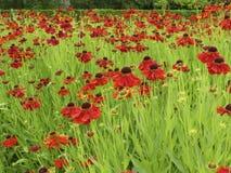 Деревенский цветок карлика 2 Стоковое Фото
