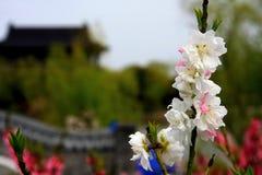 Деревня цветения персика Nanhui, Шанхай, Китай Стоковые Изображения