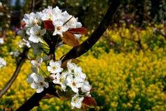 Деревня цветения персика Nanhui, Шанхай, Китай Стоковое Фото