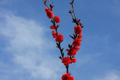 Деревня цветения персика Nanhui, Шанхай, Китай Стоковое Изображение