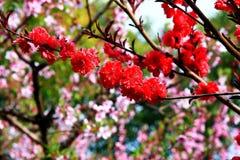 Деревня цветения персика Nanhui, Шанхай, Китай Стоковое Изображение RF