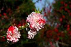 Деревня цветения персика Nanhui, Шанхай, Китай Стоковые Фотографии RF