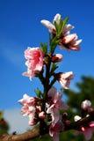 Деревня цветения персика Nanhui, Шанхай, Китай Стоковые Изображения RF